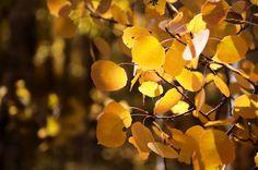 Aspen Leaves Gold Orange Sunny Fall Autumn by TheForestsEdgePhotos