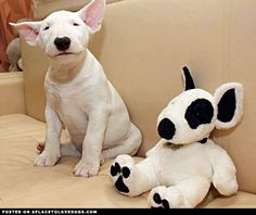 Sweetest Bull Terrier Puppy • APlaceToLoveDogs.com • dog dogs puppy puppies cute doggy doggies adorable funny fun silly photography