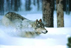 click to see asset described as Wolves at Yellowstone National Park. Various shots of wolves at Yellowstone.