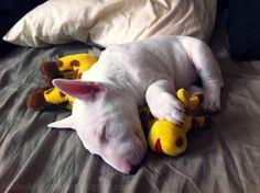 Such a sweet baby) #Bullterrier #Puppy