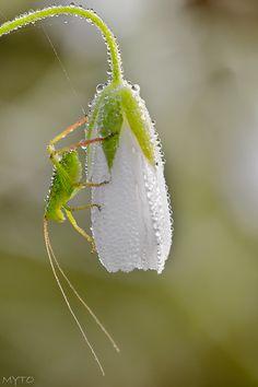 Grasshopper with Snowdrop