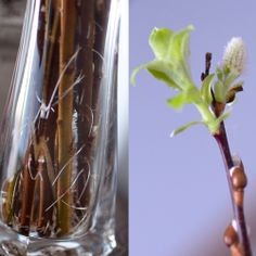 Day My pussywillows have sprouted roots and buds! 100 Happy Days, Bud, Sprouts, Glass Vase, House, Ideas, Home Decor, Decoration Home, Home