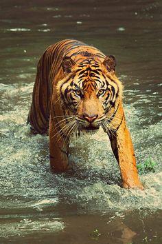 tiger wading