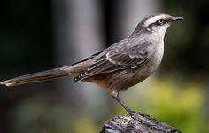Foto sabiá-do-campo (Mimus saturninus) por Luis Carlos Heringer | Wiki Aves - A Enciclopédia das Aves do Brasil