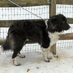 This handsome dog is Titan, a 2 year-old Newfoundland mix male with a gorgeous soft and wavy coat and a kind and gentle disposition to match. Hard to believe that this great dog was an unclaimed stray at a rural county dog pound but that was the...