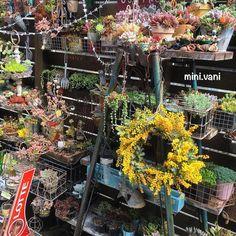 . 初ミモザのリースを作りました(Ü) 花が片寄ってる(笑) #minivani #多肉 #多肉植物 #リメ缶 #リメ鉢 #ミモザ #リース #wreath #mimoza #succulent #succulents #succulove #garden #plants #remake #rétro #junk #kawaii by mini.vani