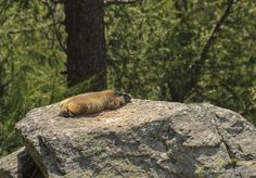 ) The Alpes, France. Brown Bear, Wild Animals, Panther, Lazy, France, Pictures, Panthers, Wild Ones, French