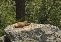 Lazy marmot ;) The Alpes, France.