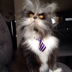 "Meet Atchoum, the werewolf cat "" the only cat in the world to have Hypertrichosis – aka ""werewolf syndrome"""""