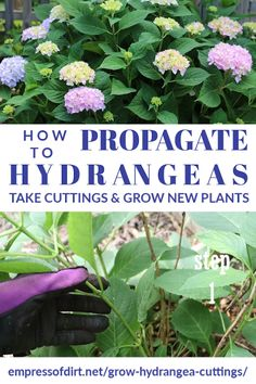 hydrangea garden care See how to take cuttings from a hydrangea and propagate them to grow into new plants. See the tutorial for step-by-step instructions. Hydrangea Landscaping, Garden Landscaping, Full Sun Landscaping, Landscaping Around Trees, Shade Landscaping, Low Maintenance Landscaping, Landscaping Tips, Gardening For Beginners, Gardening Tips