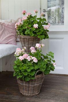 Container Flowers, Container Plants, Container Gardening, Pink Geranium, Cottage Garden Design, Pink Garden, Cactus Y Suculentas, Balcony Garden, Garden Projects