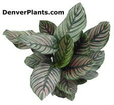 Pin-stripe plant [another Calathea] (link to page with care info)