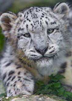 Cute snow leopard cub looking at me!