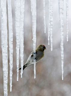 perched on an icicle
