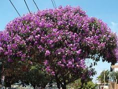 Minha árvore no futuro, hehehe, quaresmeira.