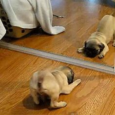 21 Perfect Jobs For Pugs