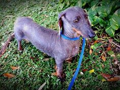 Dumped, Abandoned Senior Female Breeder Dachshunds | Pet Expenses - YouCaring