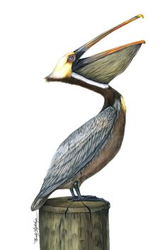 """Wildlife Art, Bird, Nature,Illustrative Art """"Pelican"""" The Art of Nature, Fine Art by Mindy Lighthipe Fine Art Reproductions of this guy are now available in multiple sizes Pelican Drawing, Pelican Tattoo, Pelican Art, Drawing Art, Photo Animaliere, Nature Artists, Nature Illustration, Watercolor Artists, Watercolour Birds"""