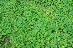Shamrocks growing wild in Ireland. The shamrock that's presented to the US President is grown in County Kerry.