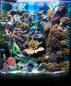 Feature Aquarium: Ignasi Torralba's 16 Gallon Nano Reef - Ignasi shares her 16 gallon nano reef with us this month. Coral Reef Aquarium, Saltwater Aquarium Fish, Nano Aquarium, Aquarium Design, Saltwater Tank, Marine Aquarium, Fish Tank Terrarium, Aquarium Terrarium, Marine Fish Tanks