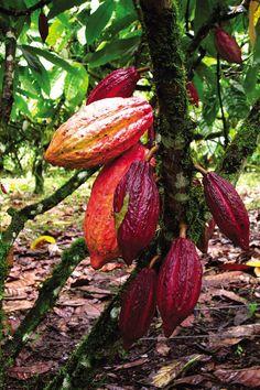 En Venezuela tenemos muy buenos cacaos, considerados internacionalmente de muy alta calidad