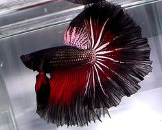 Show Quality Betta Fish | We All Have Bettas...Show Them Off! - Tropical Fish Forums at the Age ...