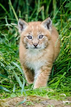 Little Lynx lady-trio Born at ZSL Whipsnade Zoo.