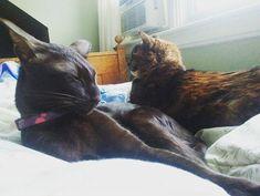 Sleeping in on Sunday with a buddy! #InstaTags4Likes #cat #cats #kitten #kittens #catsagram #catstagram #instagood #pet #pets #animal #friends #petstagram #petsagram #selfie #catsofinstagram #ilovemycat #instagramcats #catoftheday #caturday #sundayfunday #lovekittens #adorable #catlover #love #tortie #oriental #tw #pin