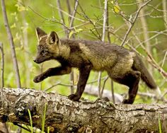 Cross Fox Cub by Ken Hupila on Capture Minnesota
