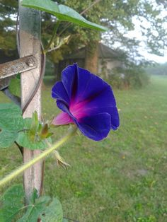 Morning Glory opening up in early morning
