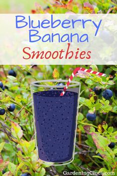 What a healthy and refreshing way to use your blueberry harvest! How about a smoothie? [FIND THE RECIPES HERE] Blueberry Banana Smoothie, Blueberry Recipes, Blueberries, Sliders, Harvest, Gardening, Healthy Recipes, Blueberry Cobbler Recipes, Berry