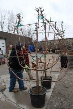 Fling: Espalier Grow a fence panelGrow a fence panel Espalier Fruit Trees, Trees And Shrubs, Trees To Plant, Topiary Garden, Garden Trees, Fruit Garden, Edible Garden, Herbs Garden, Farm Gardens
