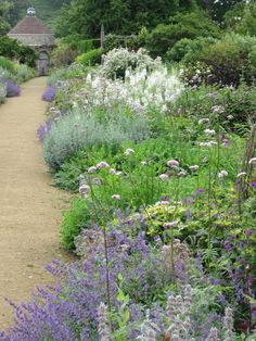 Great use of Catmint (Nepeta X faassenii 'Walker's low') in the mixed border