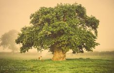 650-year-old Polish oak is Tree of the Year | MNN - Mother Nature Network