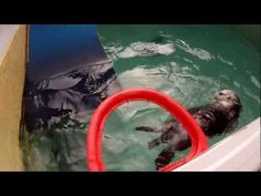 Arthritic sea otter plays basketball for rehab purposes!
