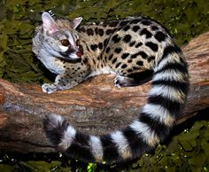 Large spotted genet - Genetta tigrina  Genets are Old World mammals from the order Carnivora, suborder Feliformia, family Viverridae, and subfamily Viverrinae. They are related to civets, linsangs, fossa, and mongooses. The common genet is the only viverrid present in Portugal. Wikipedia. They are being used by cat breeders to make domestic breeds. Designer cats.
