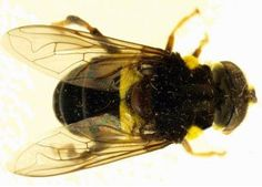 24 new Flower Fly species discovered in Central and Southern America
