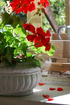 Geraniums always remind me of my Mom. She always planted geraniums in the summer. Geraniums Garden, Red Geraniums, All Flowers, Summer Flowers, Beautiful Flowers, Colorful Flowers, Pots, Red Cottage, Summer Plants