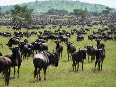 The famous annual wildebeest migration through the Maasai Mara National Park of Kenya  http://www.mangoafricansafaris.com/