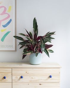 Made alot of green mates this year. Including this Calathea Triostar. He is a cool dude.