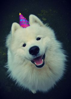 It's my birthday!!! #samoyed @yummypets