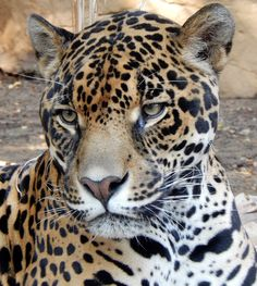 Our majestic jaguar, Otorongo, relaxing in his enclosure. Funny Animals With Captions, Funny Animal Memes, Animals And Pets, Baby Animals, Wild Animals, Jaguar, Big Cats, Cats And Kittens, Animal Cartoon Video
