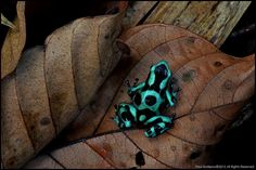 Green & Black Poison Dart Frog (Dendrobates aratus) by AnimalExplorer, via Flickr
