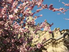 Pink blossoms and blue skies.