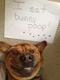 Charley the Bassett Shar Pei Rescue who loves bunny poop
