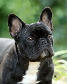 Fantasia French Bulldogs - Quality French Bulldog Puppies For Sale - Breeder in PA .: Fantasia French Bulldogs :.