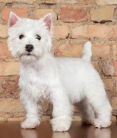 14 Favorite White Dog Breeds - Dogs Tips & Advice | mom.me