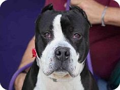Downey, CA - Pit Bull Terrier Mix. Meet RAIDER, a dog for adoption. http://www.adoptapet.com/pet/17641017-downey-california-pit-bull-terrier-mix