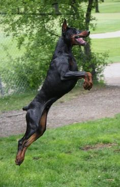 "<a class=""pintag searchlink"" data-query=""%23Doberman"" data-type=""hashtag"" href=""/search/?q=%23Doberman&rs=hashtag"" rel=""nofollow"" title=""#Doberman search Pinterest"">#Doberman</a> #DobermanPinscher"