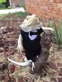 The Lifespan of a Bearded Dragon Depends on Proper Care Bearded Dragon Costumes, Fancy Bearded Dragon, Bearded Dragon Funny, Bearded Dragon Diet, Cute Little Animals, Cute Funny Animals, Cute Dogs, Cute Animal Photos, Funny Animal Pictures